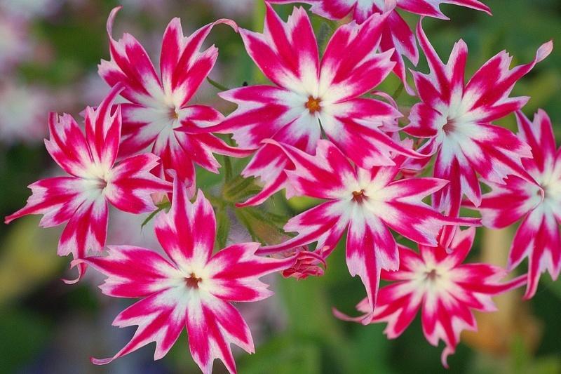 Гуммиарабик и цветы
