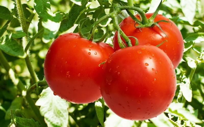 Выращиваем помидоры в домашних условиях