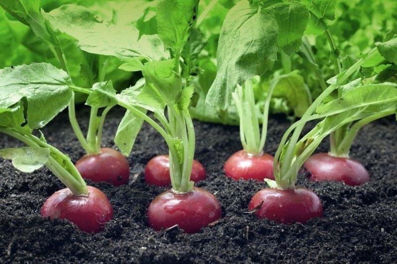 Посадка и выращивание редиса в открытом грунте четыре раза за сезон
