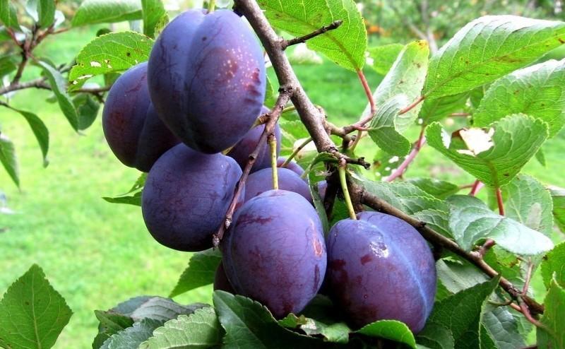 Чем подкормить плодоносящую сливу и абрикос, чтобы плоды были крупнее