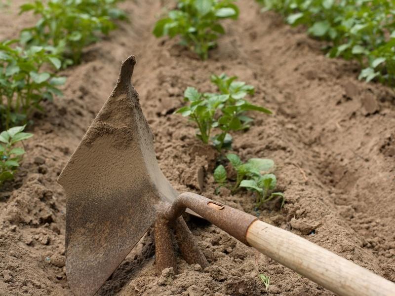 Когда и для чего нужно окучивать картофель