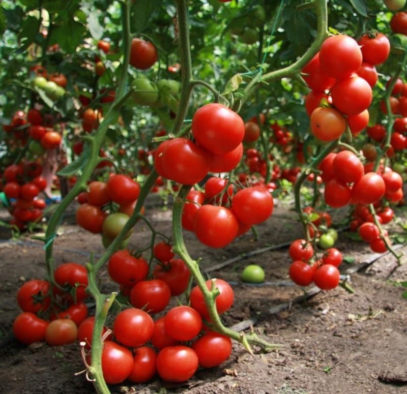 Особенности подвязки и схемы пасынкования помидоров
