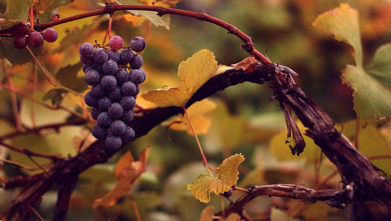 Ухаживаем за виноградом в сентябре: сбор урожая, обрезка и подкормка