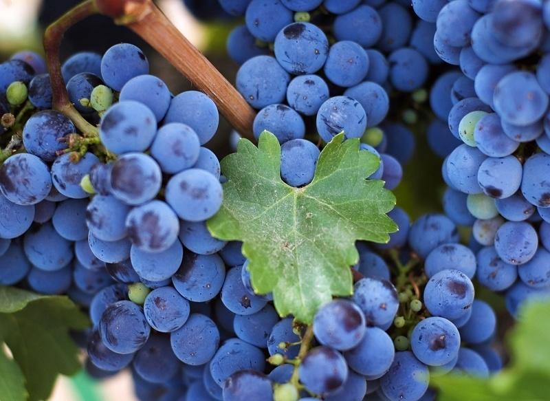 Подкормка винограда весной - лучшие удобрения и сроки их внесения