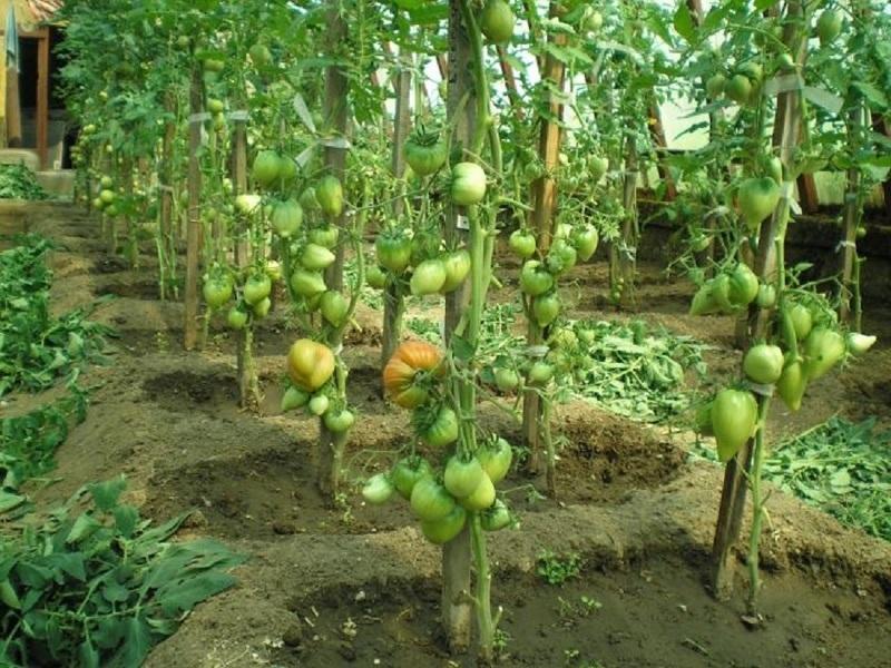 Выращивание помидоров без листвы - формирование томата по Гавришу