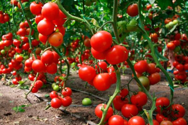 Чем меньше зелени - тем больше урожай: контролируем развитие томата