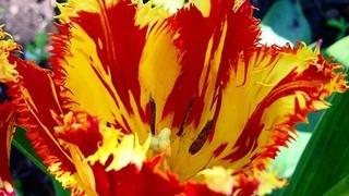 Выращивание тюльпанов и уход за ними