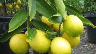 Лимон - уход в домашних условиях. Как вырастить и получить урожай. фото