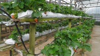 Грядки для выращивания клубники - вертикальные и традиционные