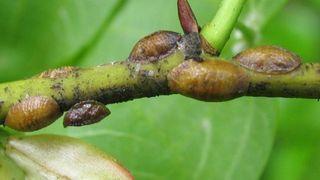 Щитовка (лат. Diaspididae) фото