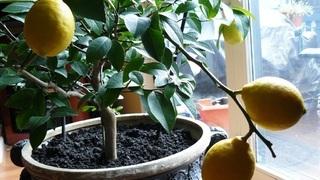 Содержание цитрусовых зимой в домашних условиях фото
