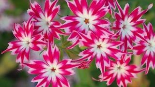 Многолетние цветы для сада. Фото садовых многолетников