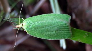 Дубовая зеленая листовертка (лат. Tortrix viridana)