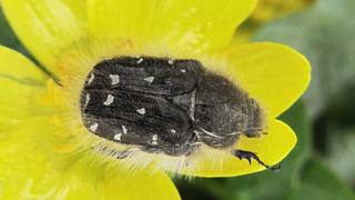 Бронзовка мохнатая (лат. Tropinota hirta)
