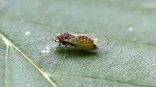 Листоблошка (лат. Psyllidae) фото