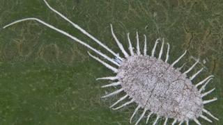 Мучнистый червец (лат. Pseudococcidae)