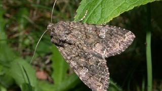 Совка капустная (лат. Mamestra brassicae)
