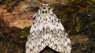 Монашенка шелкопряд (лат. Lymantria monacha)