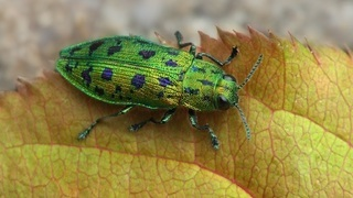 Златка (лат. Buprestidae Latreille)