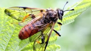 Пилильщик (лат. Tenthredinidae)