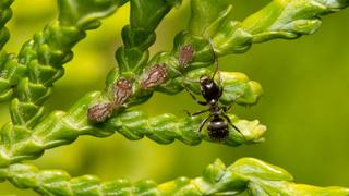 Туевая тля (лат.  Cinara juniperina)