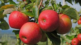 Яблоня Гала: описание сорта и отзывы садоводов фото