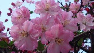 Символ Японии – вишня сакура: фото и описание