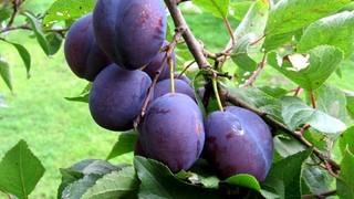 Слива (лат. Prunus)