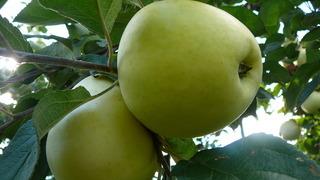 Яблоня Антоновка обыкновенная: описание сорта