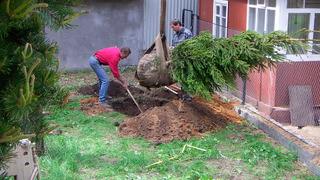 Хвойные в саду: особенности посадки и ухода