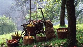 Начало августа - время сбора фруктов
