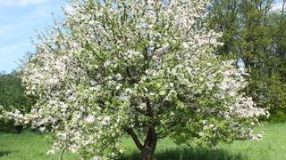 Яблоня (лат. Malus)