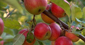 Яблоки Джонатан: фото и описание сорта