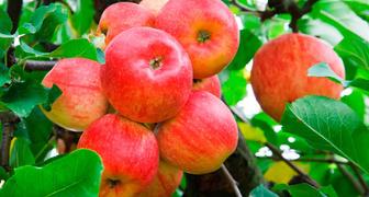Яблоня Мельба: фото и описание сорта