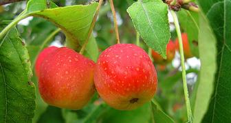 Сорта яблонь для Сибири: описание и фото