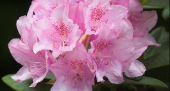 Рододендрон (лат. Rhododendron)