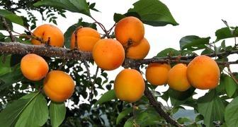 Абрикос (лат. Prunus armeniaca) фото