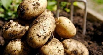 Сроки уборки картофеля вручную и мотоблоком