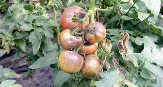 Болезни помидоров с фото и их лечение