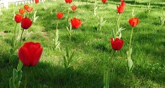 Сажаем луковичные цветы на газоне