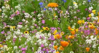 Мавританский газон: цветущая лужайка на участке