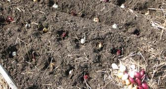 Высаживаем лук-севок в октябре