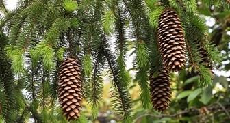 Ель (лат. Picea)