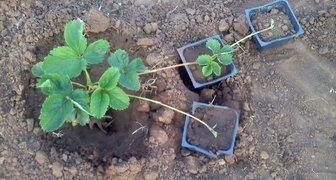 Способы размножения клубники и земляники