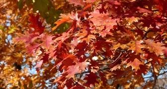 Дуб (лат. Quercus)