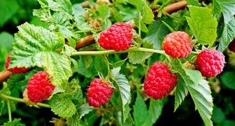 Малина  (лат. Rubus idaeus)