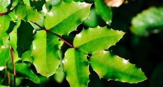 Магония падуболистная (лат. Mahonia aquifolium)