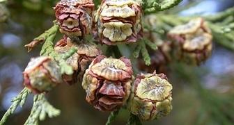 Кипарисовик (лат. Chamaecyparis)