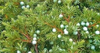 Можжевельник (лат. Juniperus)