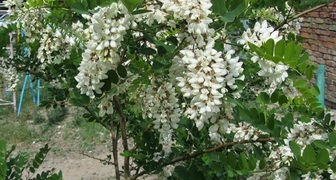 Робиния (лат. Robinia pseudoacacia)